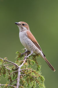 Red-backed Shrike (Lanius collurio), female. Rusi svračak, ženka.