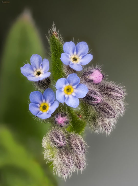 Changing forget-me-not
