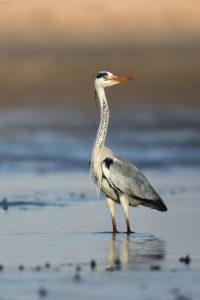 Grey Heron (Ardea cinerea). Siva čaplja