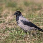 Hooded Crow (Corvus cornix). Siva vrana.