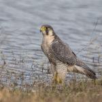 Peregrine Falcon (Falco peregrinus). Sivi sokol.