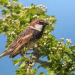 Spanish sparrow (Passer hispaniolensis). Španjolski vrabac.