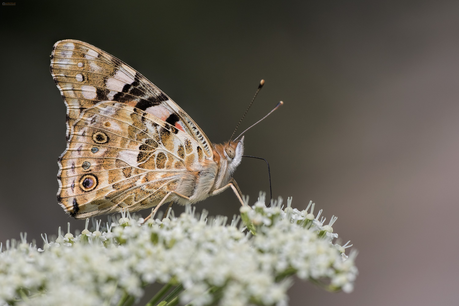 Painted Lady (Vanessa Cardui). Stričkovac.