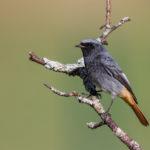 Black Redstart (Phoenicurus ochruros), male. Mrka crvenrepka, mužjak.