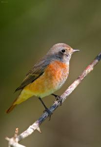Common Redstart (Phoenicurus phoenicurus), male. Šumska crvenrepka, mužjak.