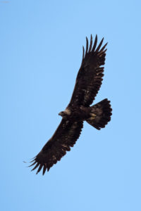 Golden Eagle (Aquila chrysaetos) in flight. Suri orao u letu.