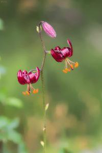 Lily Bulb (Lilium martagon L. ssp. cattaniae). Tamnogrimizni ljiljan.