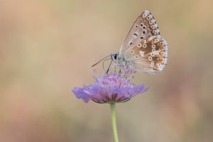 Chalk Hill Blue (Polyommatus coridon). Tirkizni plavac.