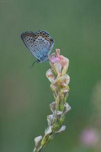 Silver-studded Blue (Plebejus argus). Trnonogi plavac.