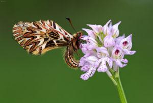 The Southern Festoon (Zerynthia polyxena). Uskršnji leptir.