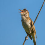 The Great Reed Warbler (Acrocephalus arundinaceus). Veliki trstenjak.