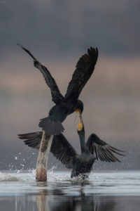 Great Cormorants (Phalacrocorax carbo) in fight. Veliki vranci u svađi.