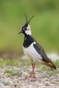 Lapwing (Vanellus vanellus). Vivak.