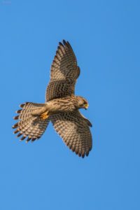 Kestrel (Falco tinnunculus) in flight. Vjetruša u letu.