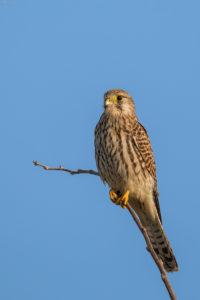 Kestrel (Falco tinnunculus). Vjetruša.