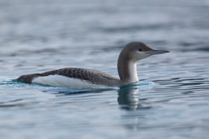 Black-throated Diver (Gavia arctica). Crnogrli plijenor.