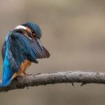 Common Kingfisher (Alcedo atthis), in preening pose. Vodomar, poza dotjerivanja.