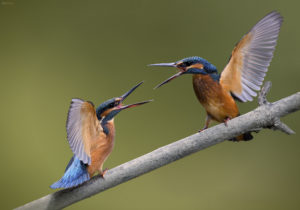 Common Kingfishers (Alcedo atthis), young females in fight. Vodomari, mlade ženke u svađi.