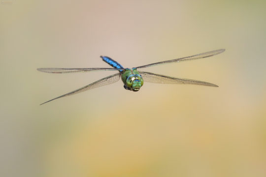 The Blue Emperor Dragonfly