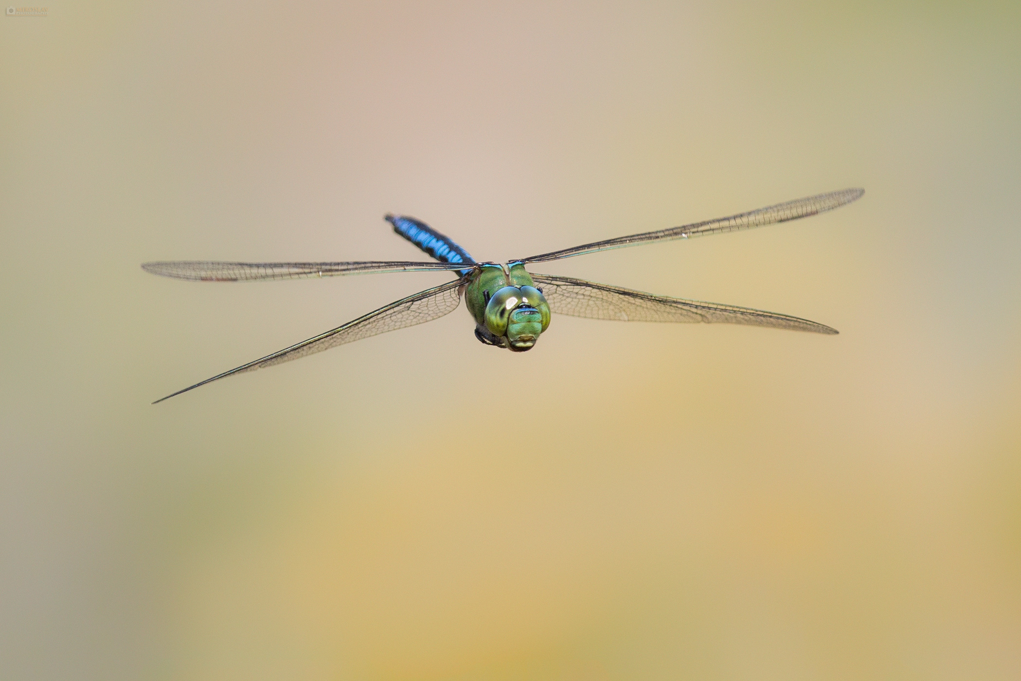 The Blue Emperor Dragonfly (Anax imperator) in flight. Veliki car u letu.