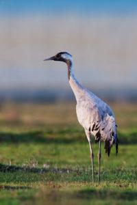 Common Crane (Grus grus). Ždral.