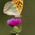 Silver-washed Fritillary (Argynnis paphia). Zelena sedefica.