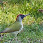 Green Woodpecker (Picus viridis). Zelena žuna.