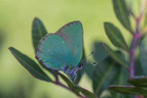 The Green Hairstreak (Callophrys rubi). Zeleni kupinar.
