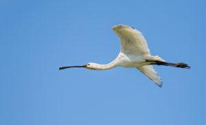 Spoonbill (Platalea leucorodia) in flight. Žličarka.
