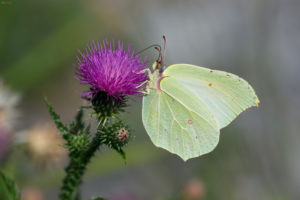 The Common Brimstone (Gonepteryx rhamni). Žućak.