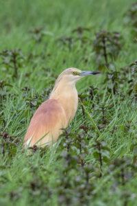 Squacco heron (Ardeola ralloides). Žuta čaplja.