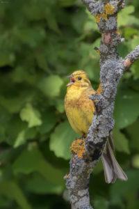 Yellowhammer (Emberiza citrinella). Žuta strnadica.