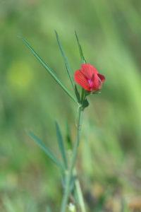 Red Pea (Lathyrus setifolius). Bodljastolisna kukavičica.