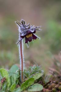 Blackish Anemone (Pulsatilla pratensis). Crnkasta sasa.