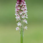 Burnt-tip orchid (Neotinea ustulata). Crnocrveni kaćun (medeni kaćun).