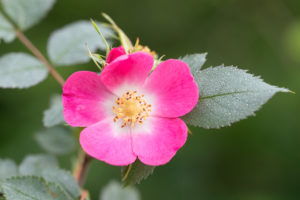 The Gallic rose (Rosa gallica). Galska ruža.
