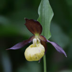Lady's slipper orchid (Cypripedium calceolus). Gospina papučica.