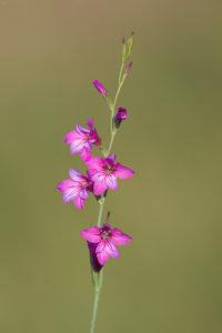 Gladiolus illyricus. Ilirski mačić (ilirska gladiola).