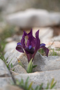 Iris adriatica. Jadranska perunika.