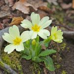 Primrose (Primula vulgaris). Jaglac.