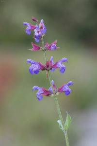 Common sage (Salvia officinalis). Kadulja.