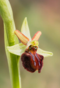 Early Spider-orchid (Ophrys sphegodes). Kokica paučica.