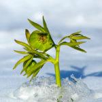 Helleborus multifidus. Kukurijek.