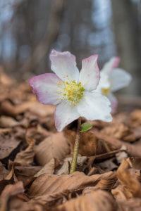 Christmas rose (Helleborus niger). Kukurijek božićnjak.