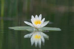 The white water-lily (Nymphaea alba). Lopoč.