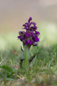 Green-veined orchid (Anacamptis morio or Orchis morio). Mali kaćun.