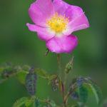 Redleaf rose (Rosa glauca). Modrozelena ruža.