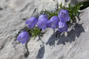 Earleaf bellflower (Campanula cochlearifolia). Patuljasta zvončika.