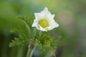 Alpine pasqueflower (Pulsatilla alpina). Planinska sasa.