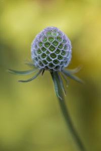 Field Scabious (Knautia arvensis). Poljska prženica.
